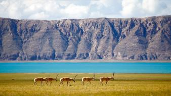 National geographic tibet animals antelope lakes wallpaper