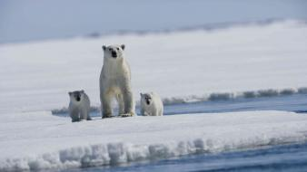Animals arctic baby bears ice Wallpaper