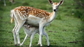 Animals baby deer fawn wallpaper