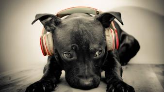 Beats by drdre animals dogs headphones wallpaper