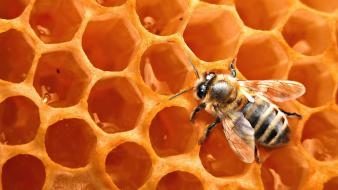 Bees honeycomb insects wallpaper
