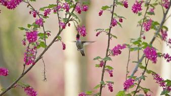 Birds hummingbirds pink flowers plants wallpaper
