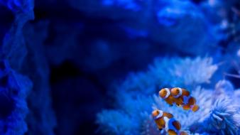 Clownfish fish reef underwater wallpaper