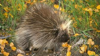Don north american porcupine animals nature porcupines wallpaper