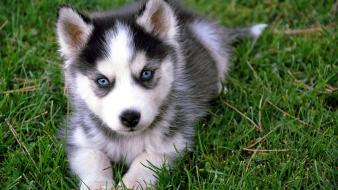 Pomsky puppies wallpaper