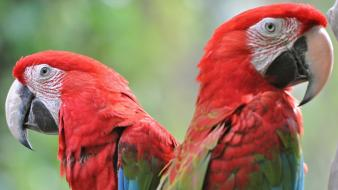 Scarlet macaws animals birds parrots wallpaper