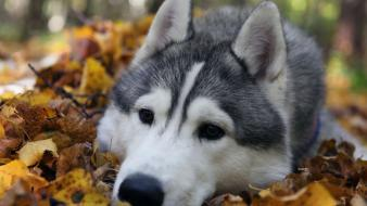 Siberian husky animals dogs leaves wallpaper