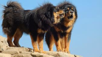 Tibetan mastiff dogs wallpaper