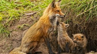 Animals baby foxes Wallpaper