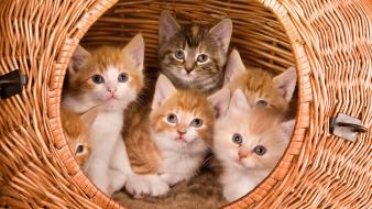 Animals baskets cats kittens wallpaper