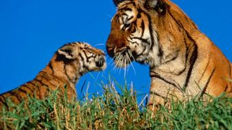 Animals mother nature tigers wildlife wallpaper