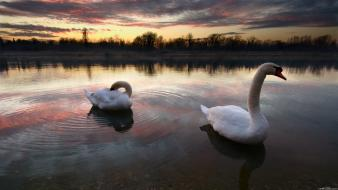 Birds nature swans swimming wallpaper