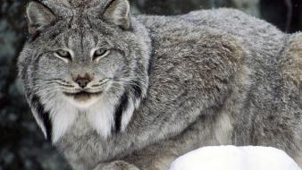 Canada canadian animals lynx nature wallpaper