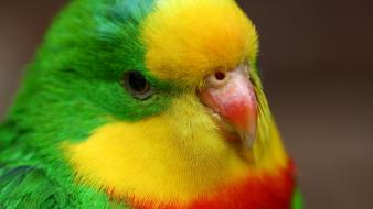 Cute colorful love bird wallpaper