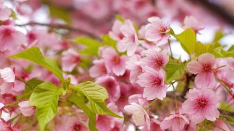 Flowers nature pink wallpaper