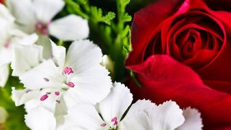 Flowers nature red roses white wallpaper