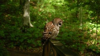 Forest owl pictures wallpaper