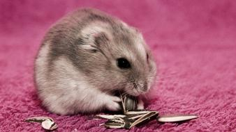 Hamsters pets wallpaper