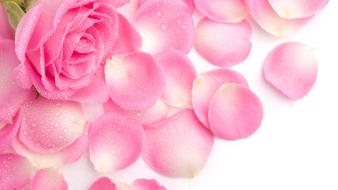 Pink rose petals wallpaper