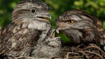 Tawny frogmouth baby birds nest wallpaper
