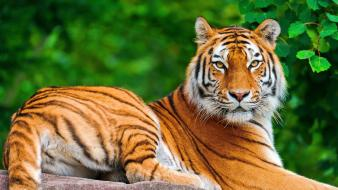 Tiger desktop backgrounds wallpaper