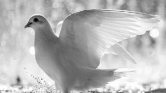 White dove pictures Wallpaper