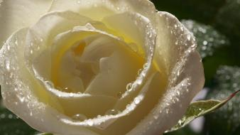 White rose pictures Wallpaper