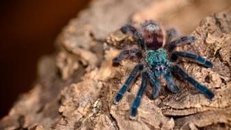 Animals arachnids avicularia versicolor spiders Wallpaper