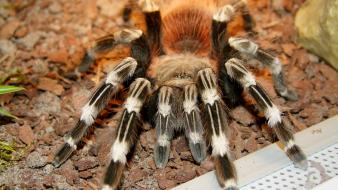 Animals arachnids spiders Wallpaper