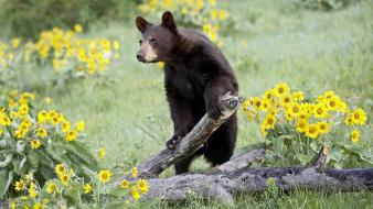 Animals bears yellow flowers wallpaper