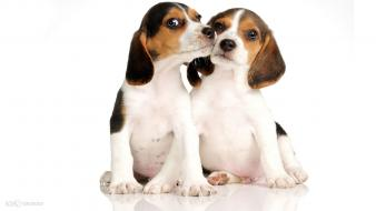 Beagle puppies wallpaper