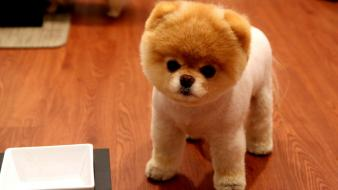 Boo animals dogs nature pomeranian wallpaper