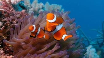 Clown fish on anemon Wallpaper
