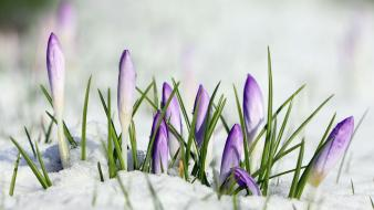 Crocus flowers purple snow wallpaper