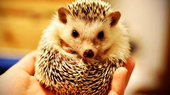 Cute hedgehog pictures wallpaper