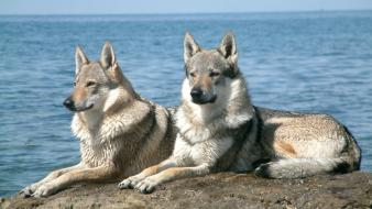 Czechoslovakian wolfdogs animals dogs Wallpaper