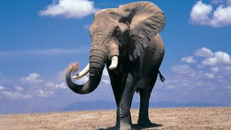 Elephant images wallpaper