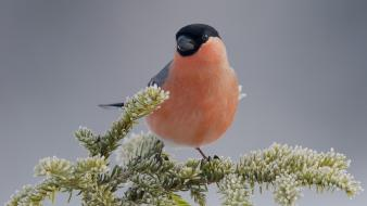 Finches birds bullfinch frost wallpaper