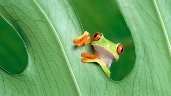 Funny frog wallpaper