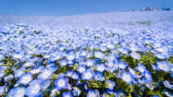 Japan blue flowers depth of field meadows wallpaper