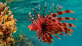 Lionfish coral reef wallpaper