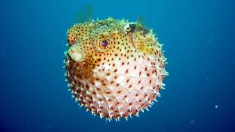 Puffer fish wallpaper