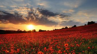 United kingdom flowers plains poppies red wallpaper