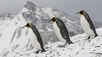 Alaska animals birds nature penguins Wallpaper