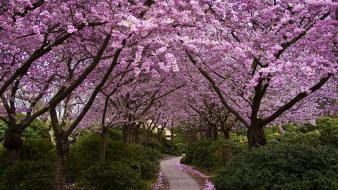 Alley blossoms parks spring widescreen Wallpaper