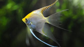 Amazon angelfish animals aquarium fish wallpaper