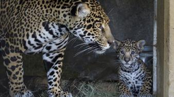 Animals baby cubs jaguars Wallpaper