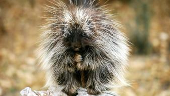 Animals baby exotic nature porcupines Wallpaper
