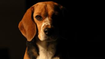 Animals beagle dogs domestic dog pets wallpaper