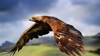 Animals birds eagles wallpaper